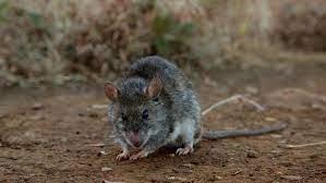 Kondana Soft Furred Rat