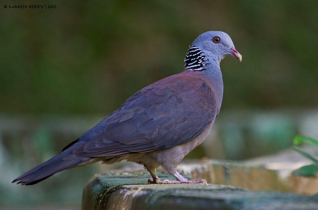 Nilgiri Wood Pigeon: